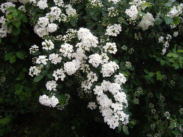 Arbuste a fleurs blanche au jardin blog de tresorsmamanmat - Arbuste fleur blanche ...